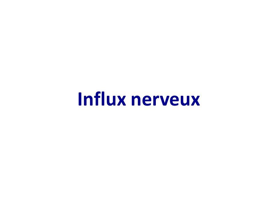 C5 communication neuronale et voies visuelles ppt for Influx nerveux