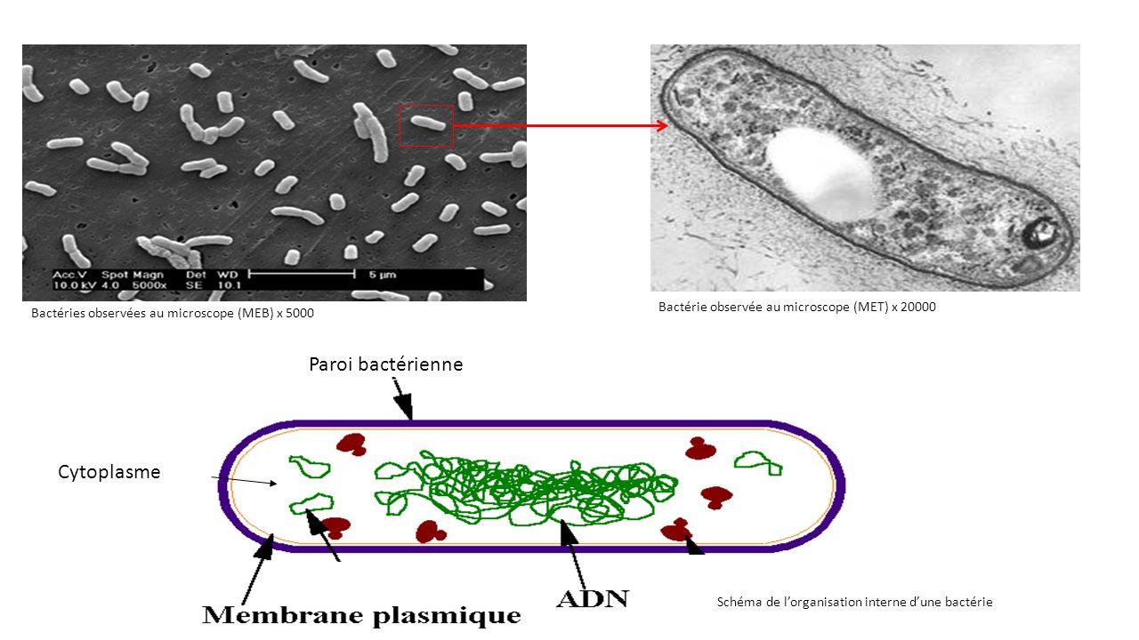 Paroi bactérienne Cytoplasme
