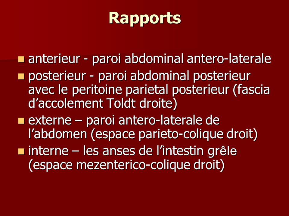 Rapports anterieur - paroi abdominal antero-laterale