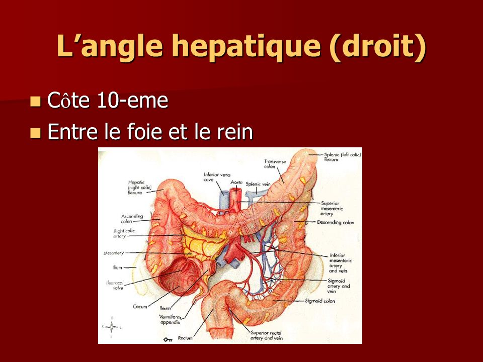 L'angle hepatique (droit)