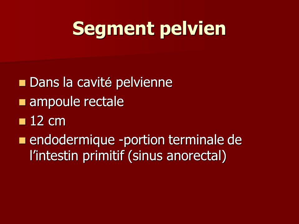 Segment pelvien Dans la cavité pelvienne ampoule rectale 12 cm