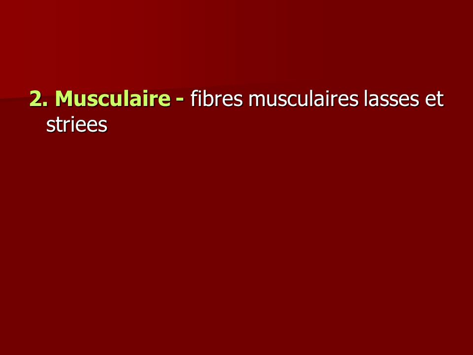 2. Musculaire - fibres musculaires lasses et striees