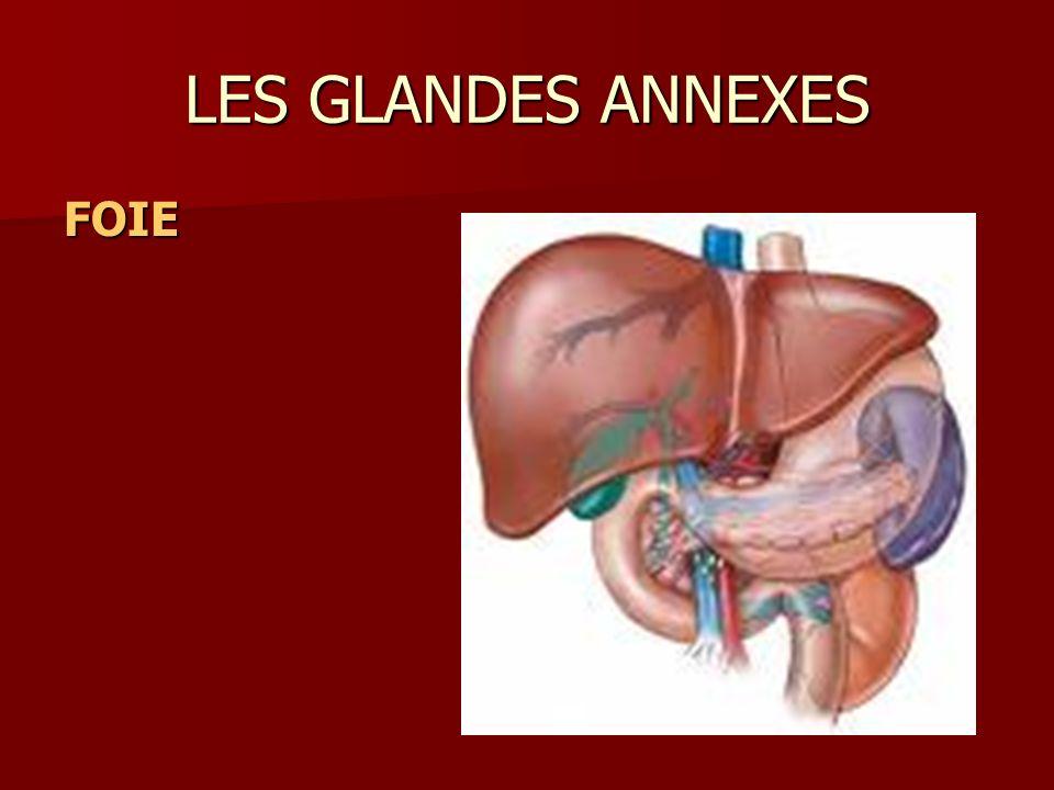 LES GLANDES ANNEXES FOIE
