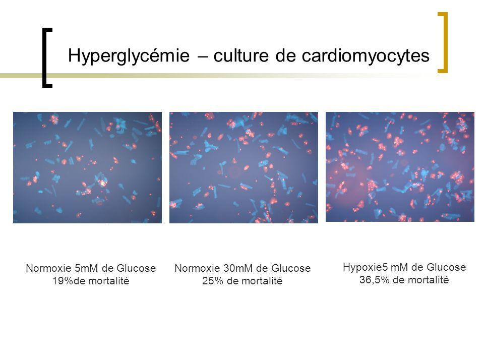 Hyperglycémie – culture de cardiomyocytes
