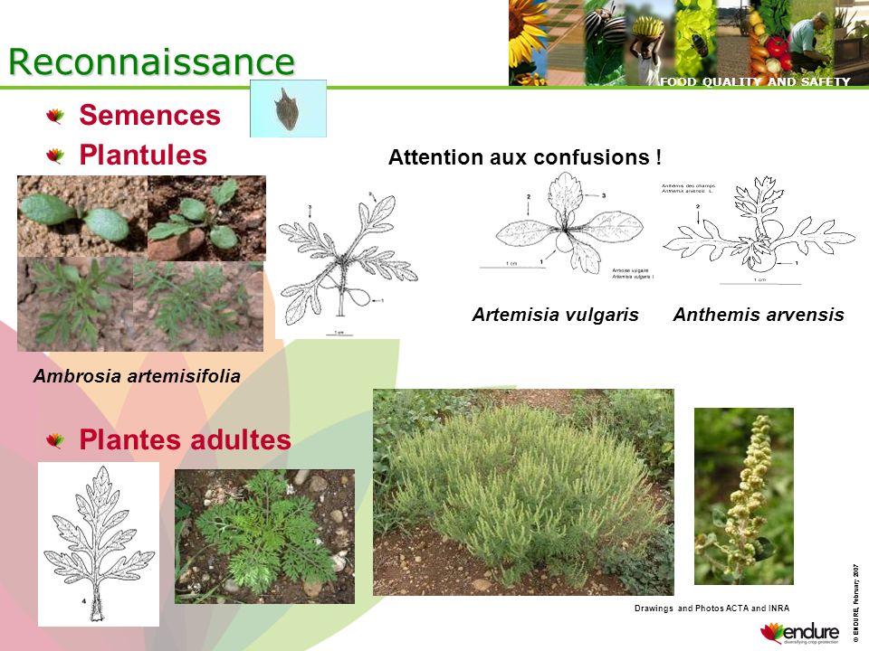 Reconnaissance Semences Plantules Attention aux confusions !