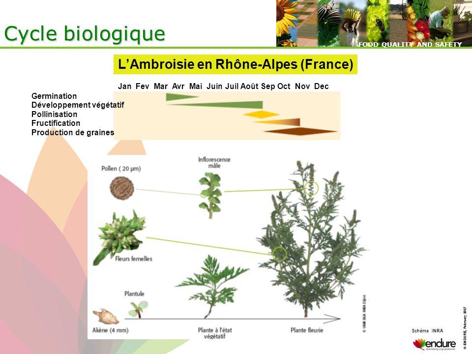 Cycle biologique L'Ambroisie en Rhône-Alpes (France)
