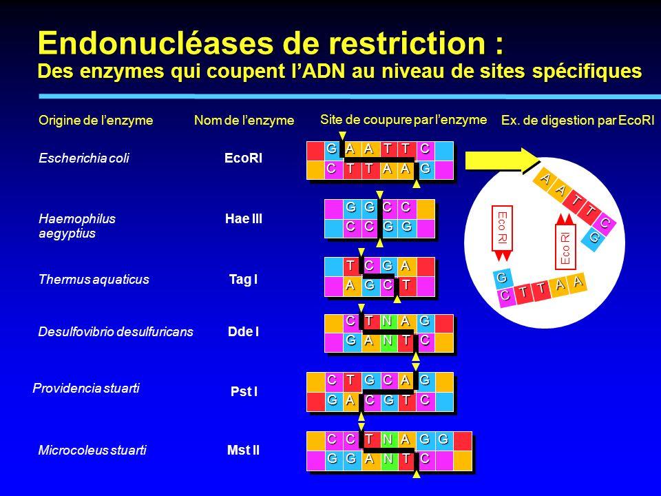 Ex. de digestion par EcoRI