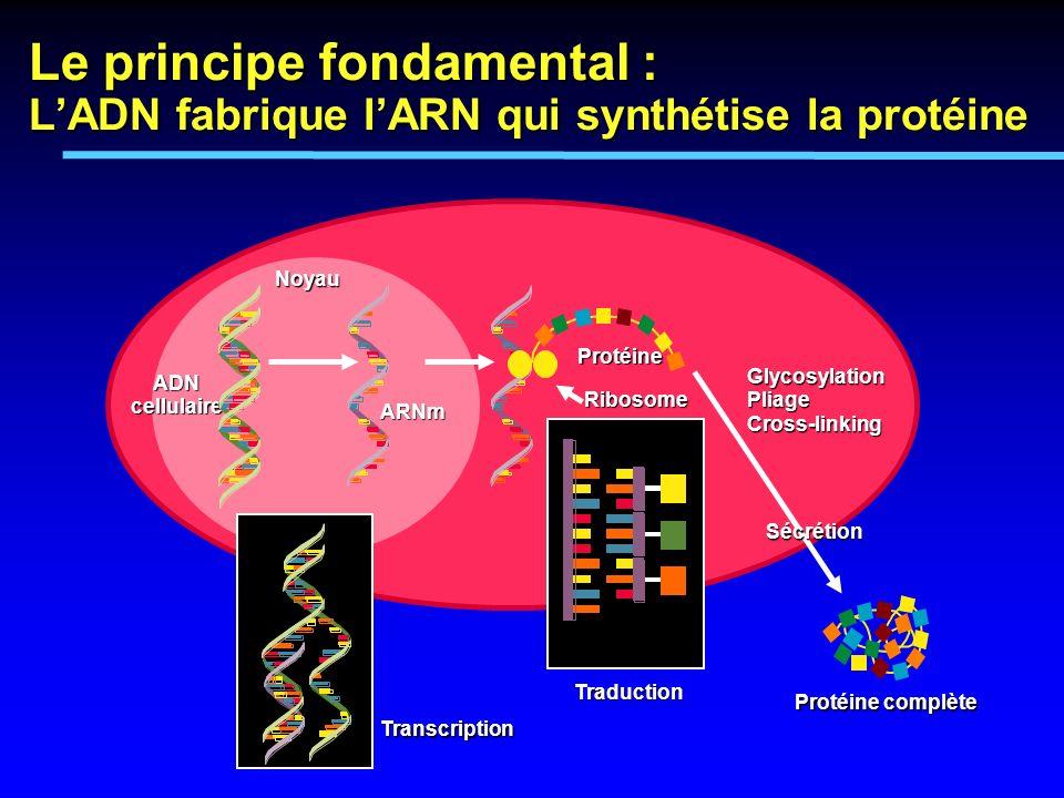 Le principe fondamental : L'ADN fabrique l'ARN qui synthétise la protéine