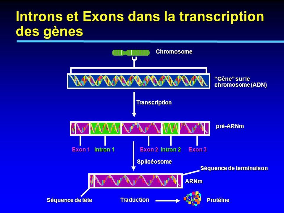 Introns et Exons dans la transcription des gènes