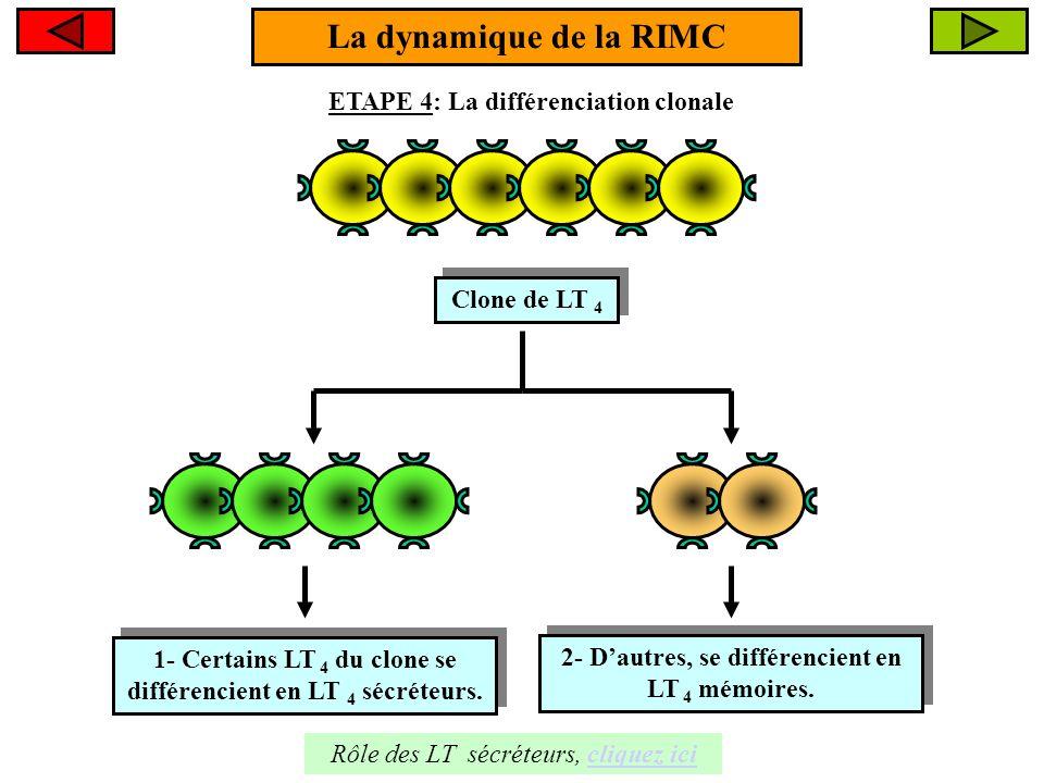 La dynamique de la RIMC ETAPE 4: La différenciation clonale