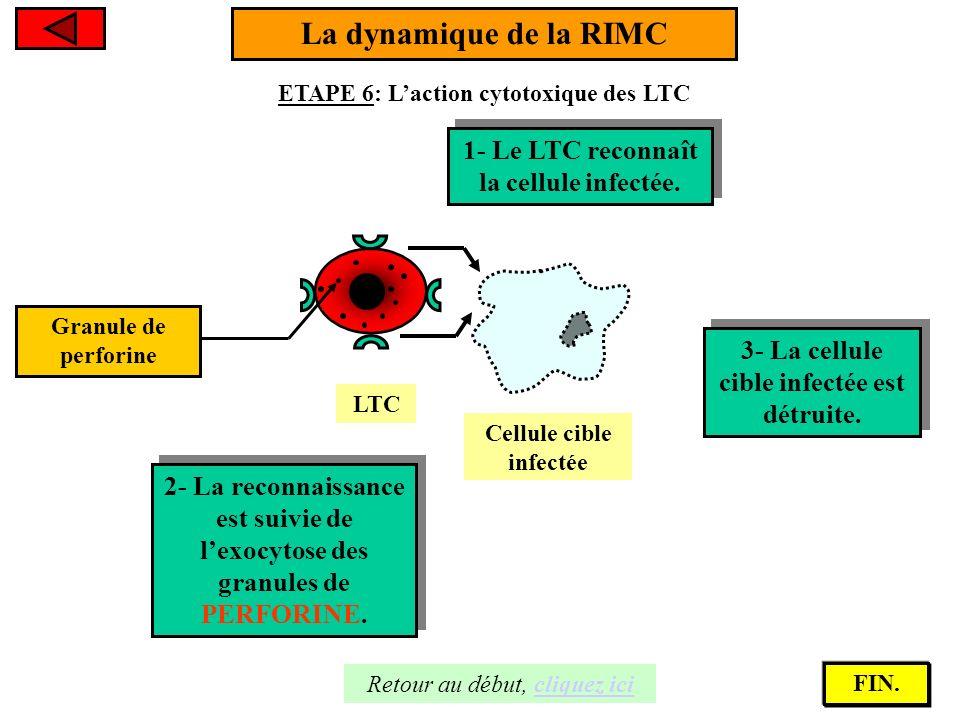 La dynamique de la RIMC 1- Le LTC reconnaît la cellule infectée.