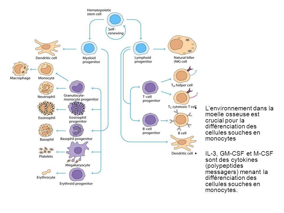 L'environnement dans la moelle osseuse est crucial pour la différenciation des cellules souches en monocytes