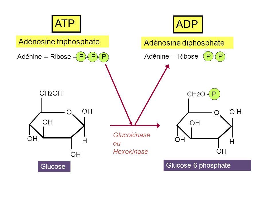 ATP ADP Adénosine triphosphate Adénosine diphosphate