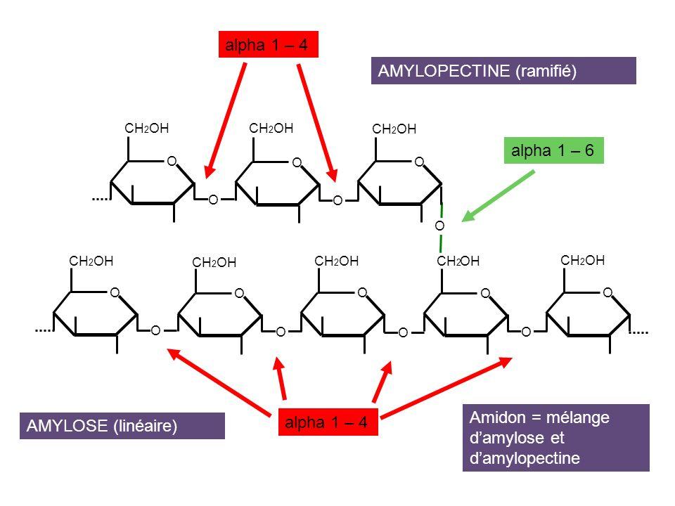 AMYLOPECTINE (ramifié)