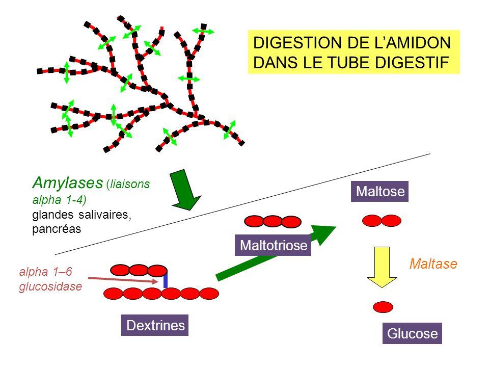 Amylases (liaisons alpha 1-4)