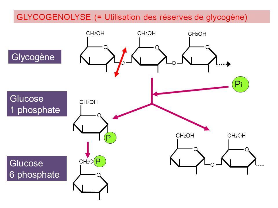 Glycogène Pi Glucose 1 phosphate Glucose 6 phosphate
