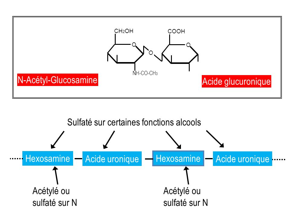 N-Acétyl-Glucosamine Acide glucuronique