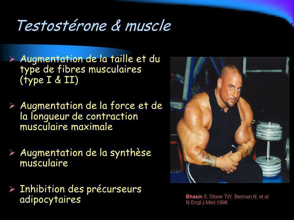 Testostérone & muscle Augmentation de la taille et du type de fibres musculaires (type I & II)