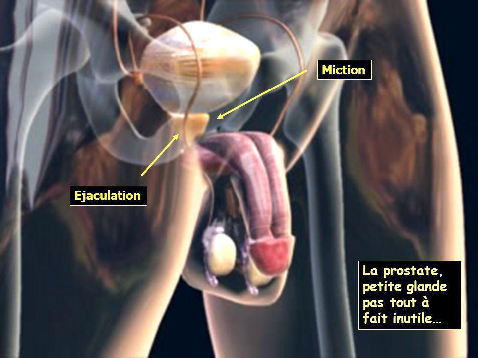 La prostate, petite glande pas tout à fait inutile…