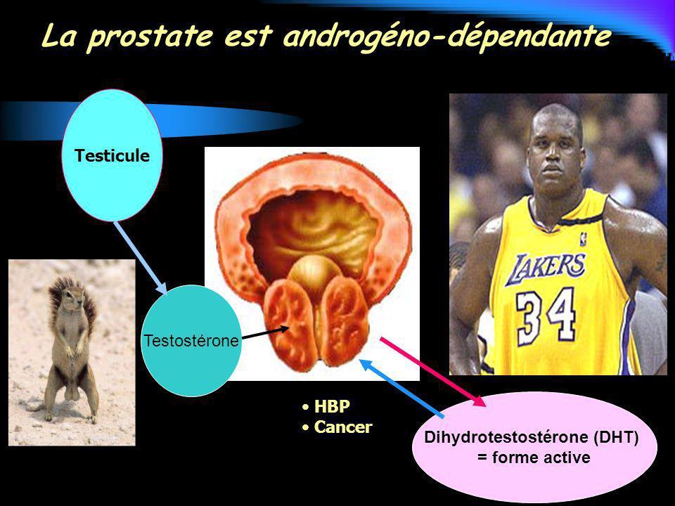 La prostate est androgéno-dépendante