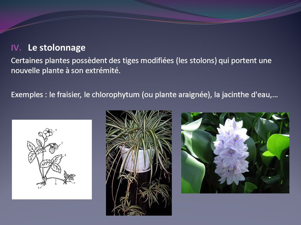 Le stolonnage Certaines plantes possèdent des tiges modifiées (les stolons) qui portent une nouvelle plante à son extrémité.