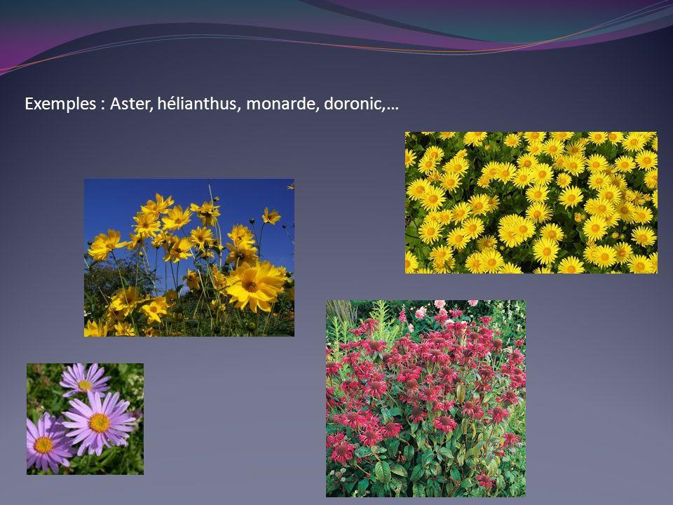 Exemples : Aster, hélianthus, monarde, doronic,…