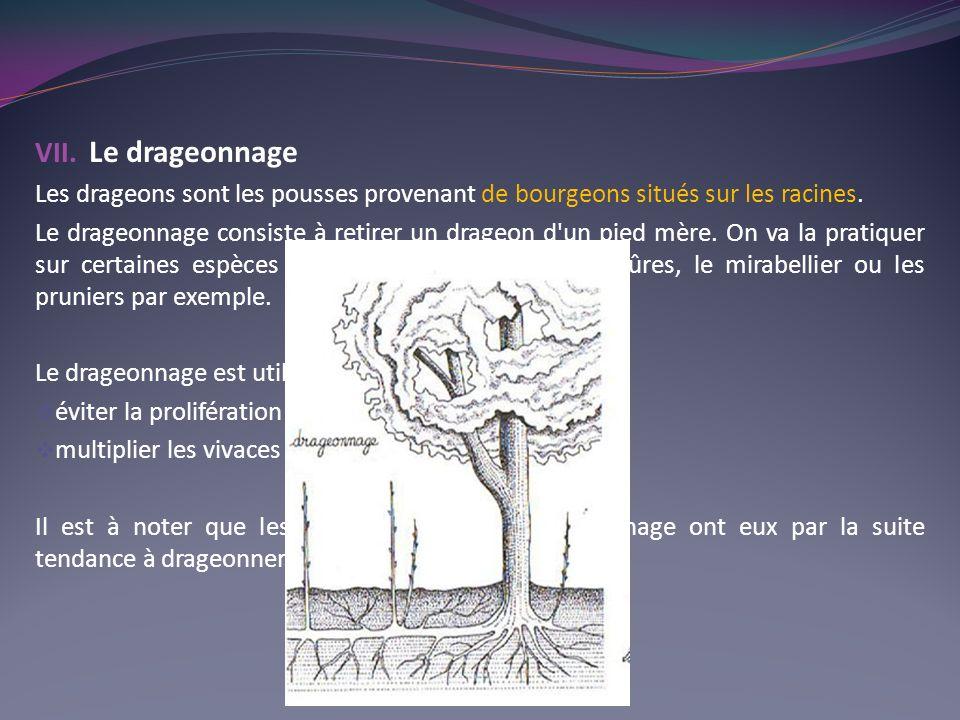 Le drageonnage Les drageons sont les pousses provenant de bourgeons situés sur les racines.