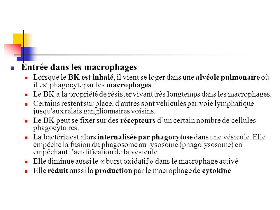 Entrée dans les macrophages