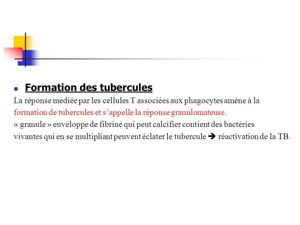 Formation des tubercules