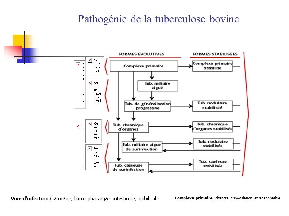 Pathogénie de la tuberculose bovine