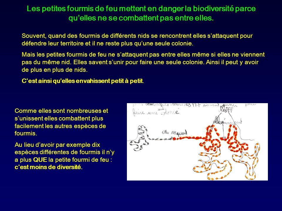 Les petites fourmis de feu mettent en danger la biodiversité parce qu'elles ne se combattent pas entre elles.