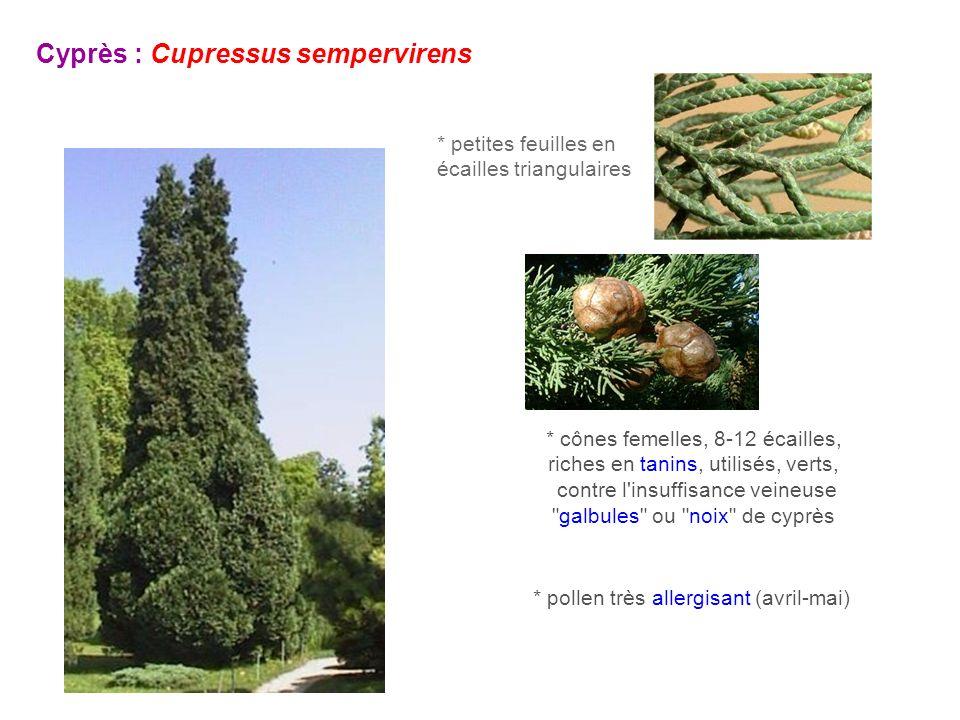 Cyprès : Cupressus sempervirens