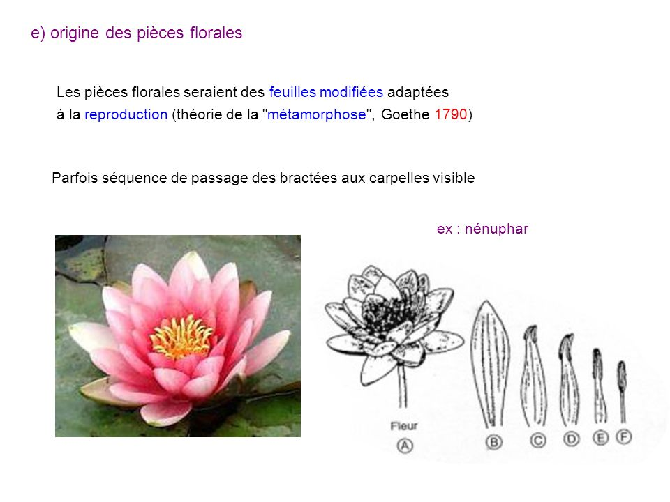 e) origine des pièces florales