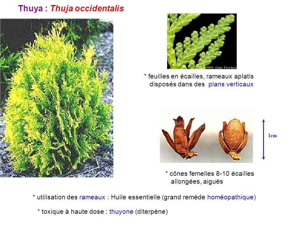 Thuya : Thuja occidentalis