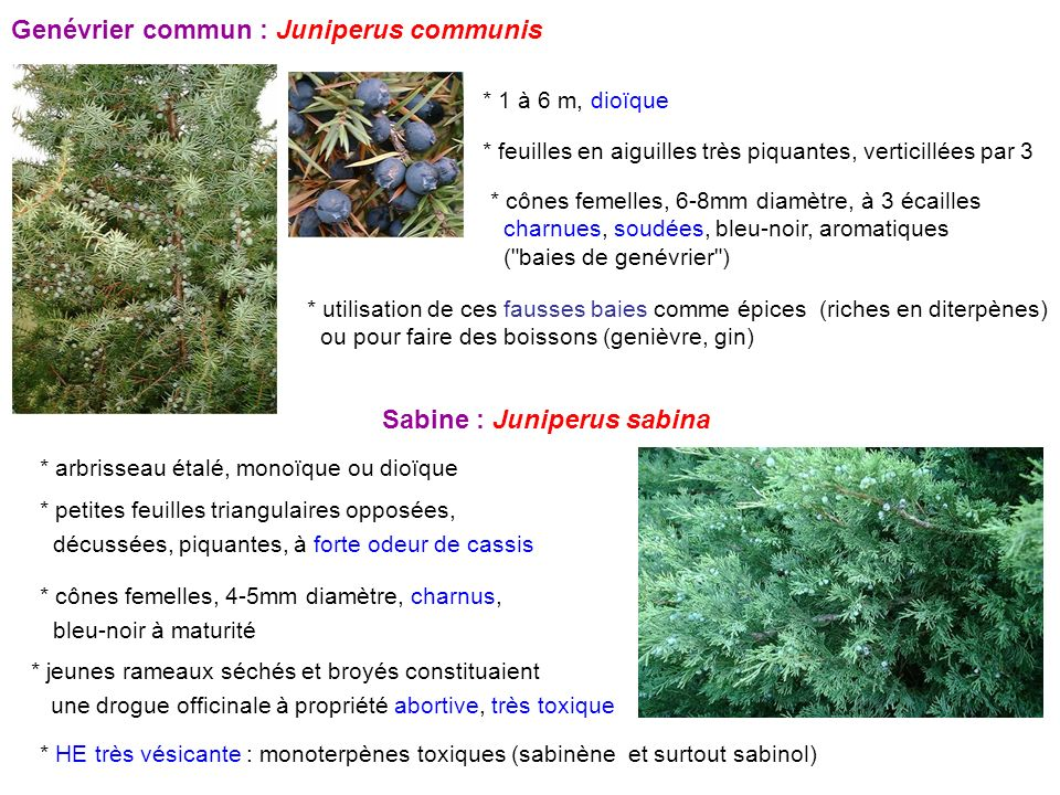 Genévrier commun : Juniperus communis
