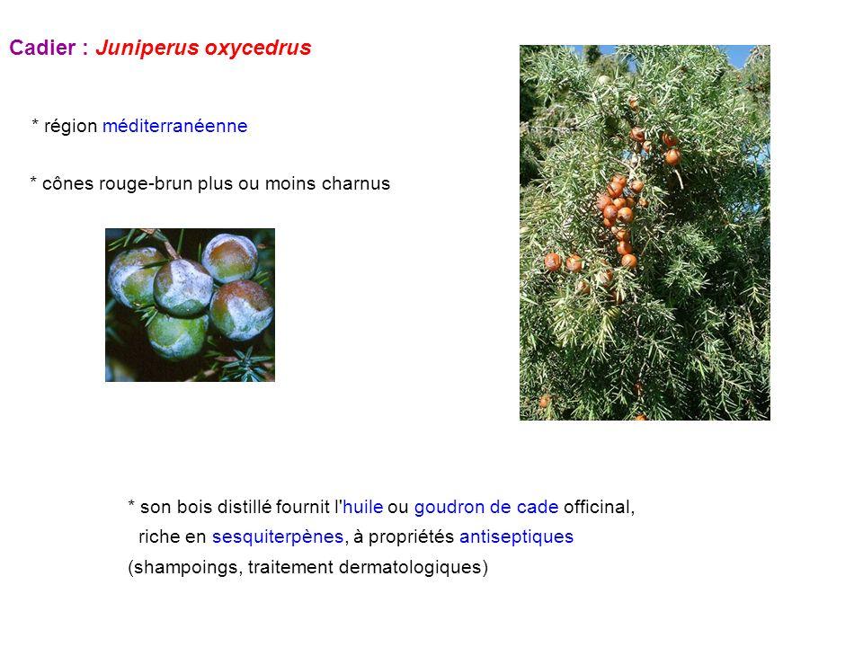 Cadier : Juniperus oxycedrus