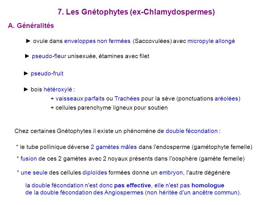 7. Les Gnétophytes (ex-Chlamydospermes)