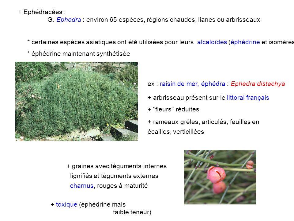 + Ephédracées : G. Ephedra : environ 65 espèces, régions chaudes, lianes ou arbrisseaux.