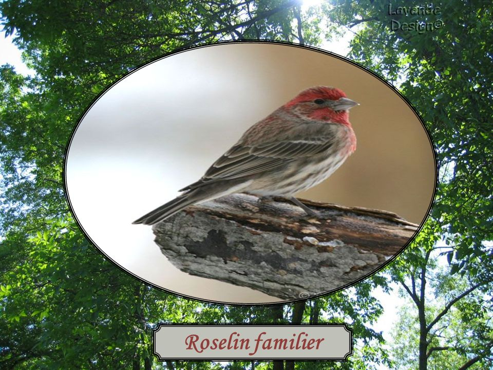 Roselin familier