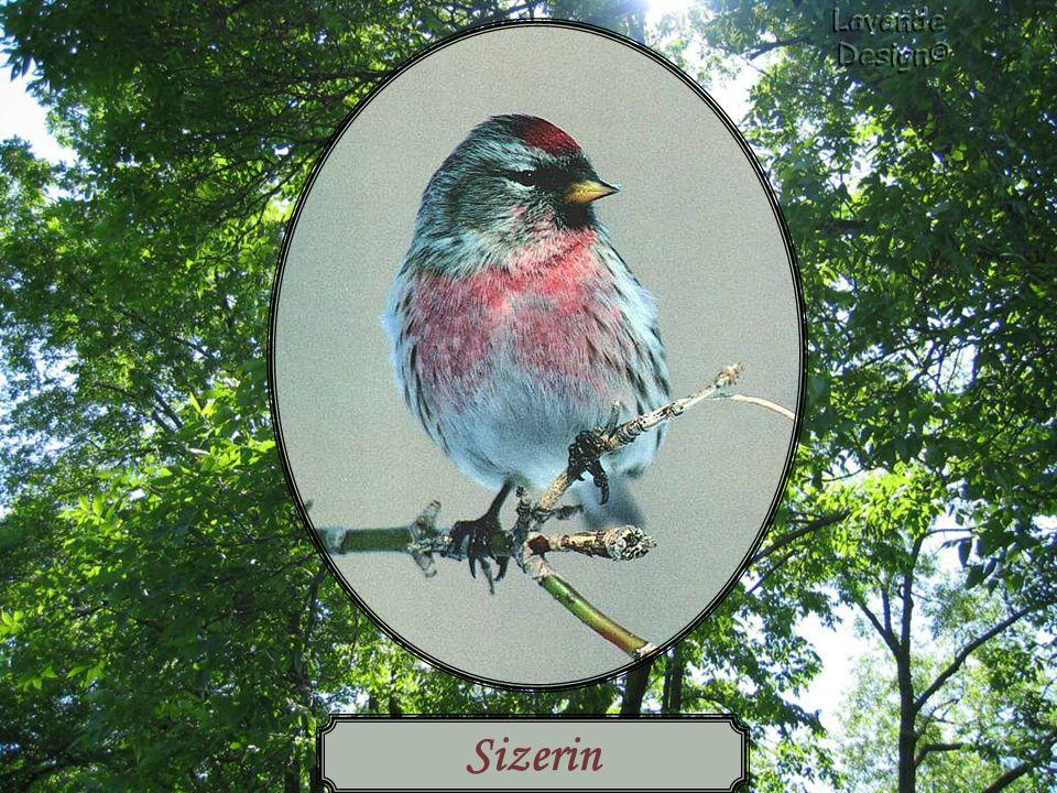 Sizerin