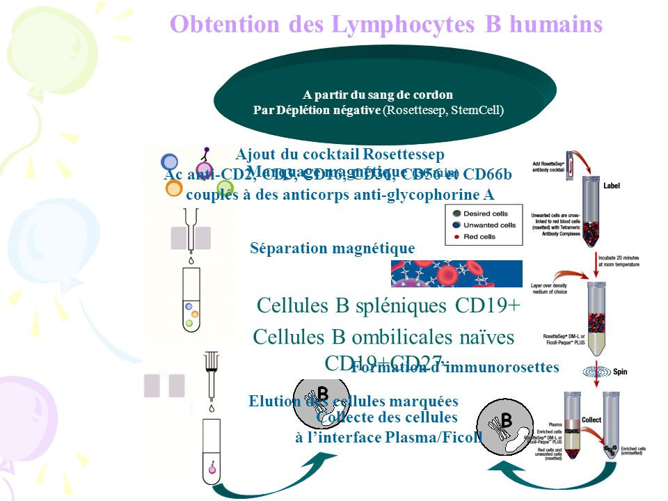 Obtention des Lymphocytes B humains
