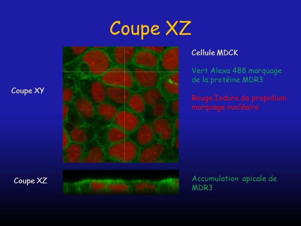 Coupe XZ Cellule MDCK Vert Alexa 488 marquage de la protéine MDR3