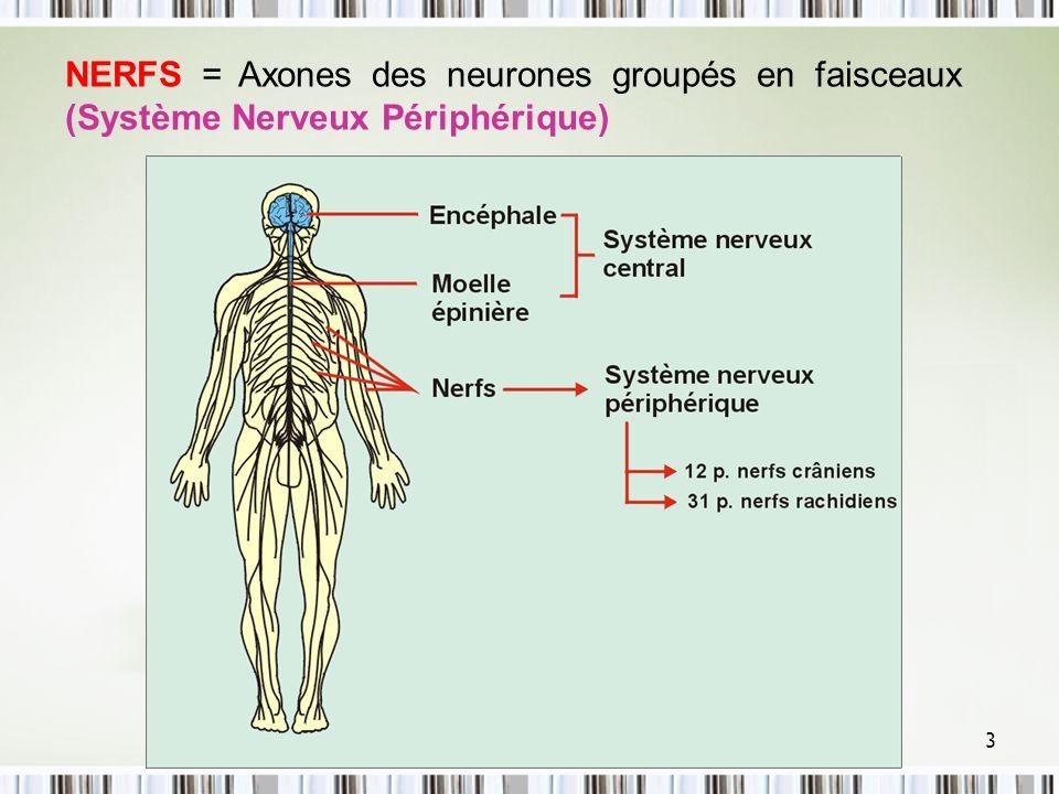 NERFS = Axones des neurones groupés en faisceaux (Système Nerveux Périphérique)