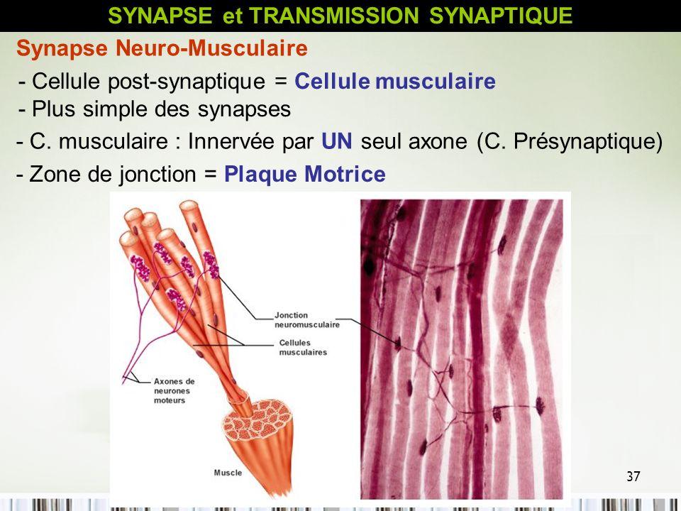 SYNAPSE et TRANSMISSION SYNAPTIQUE