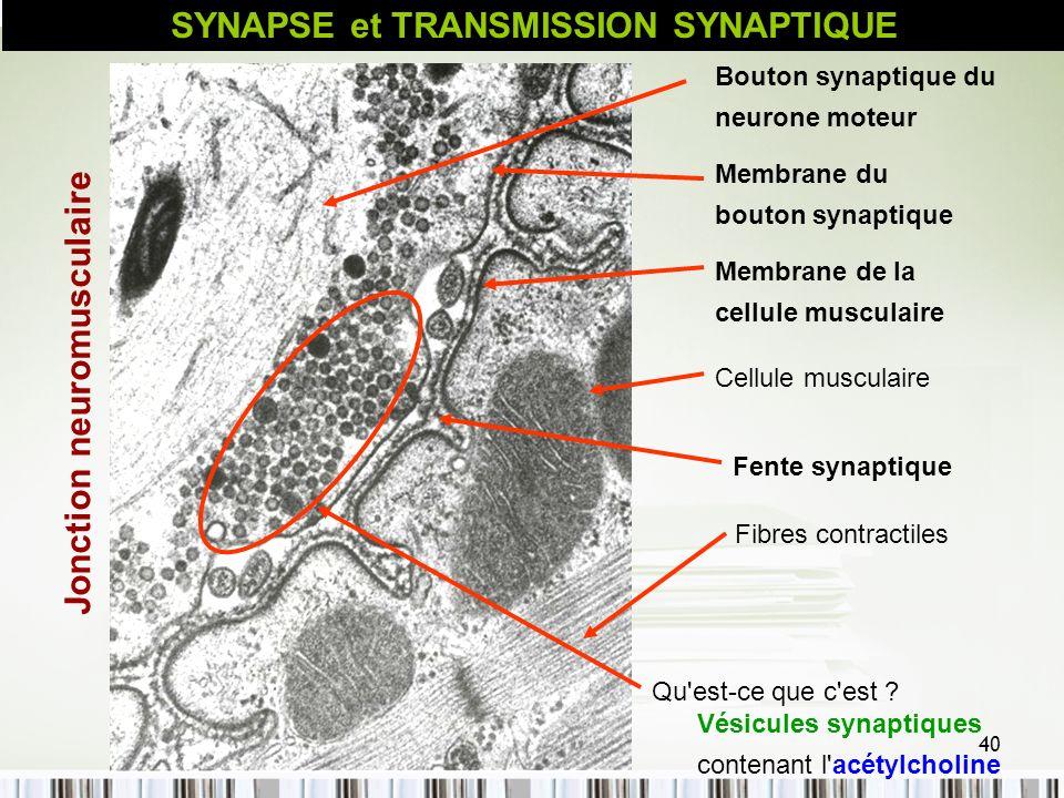 SYNAPSE et TRANSMISSION SYNAPTIQUE Jonction neuromusculaire