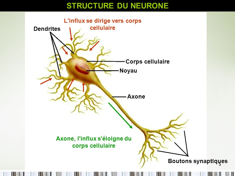 STRUCTURE DU NEURONE L influx se dirige vers corps cellulaire