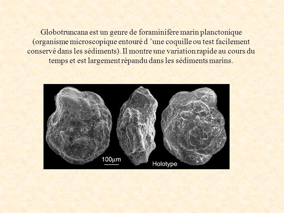 Globotruncana est un genre de foraminifère marin planctonique (organisme microscopique entouré d 'une coquille ou test facilement conservé dans les sédiments).