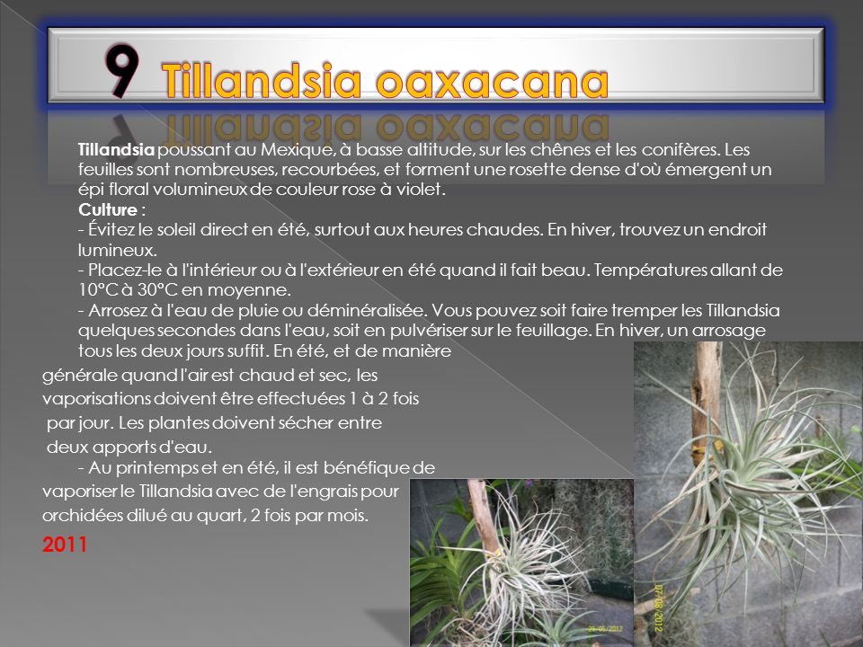9 Tillandsia oaxacana
