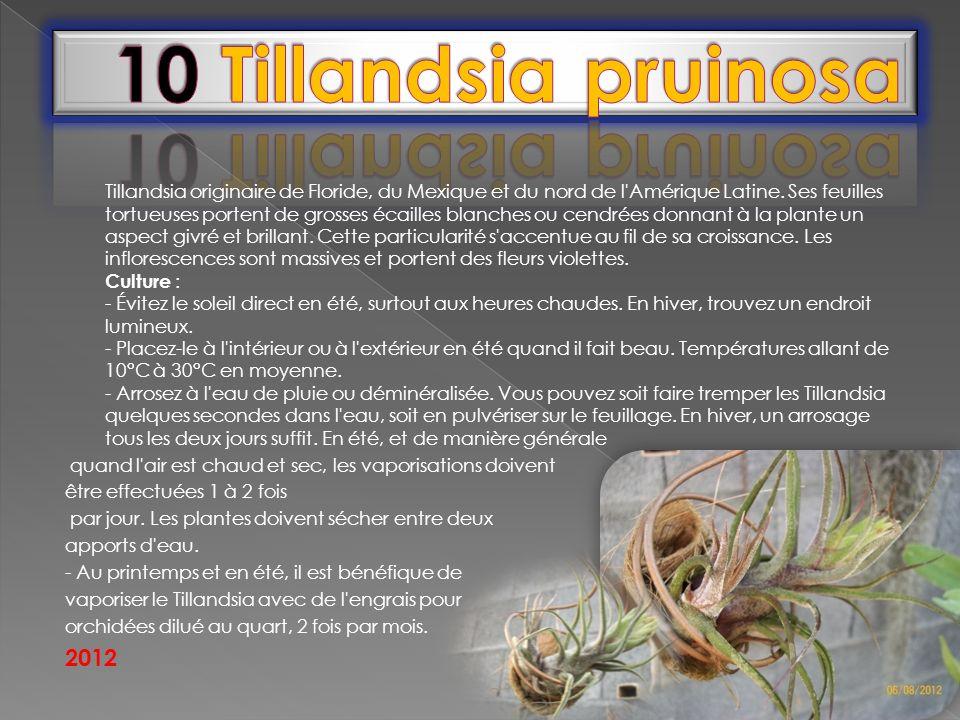 10 Tillandsia pruinosa