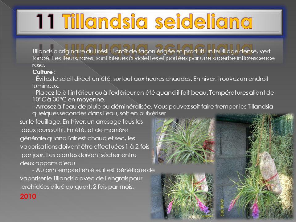 11 Tillandsia seideliana